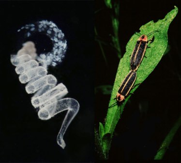 firefly gift and mating