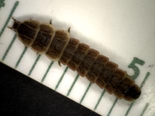 Ellychnia Dead at 12 w dorsal