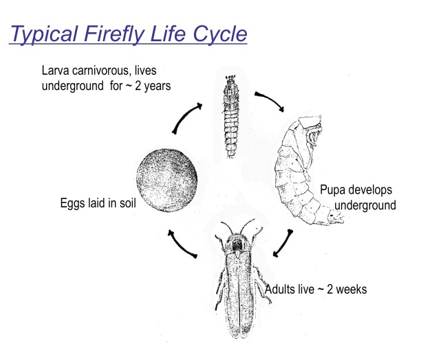 ff-lifecycle