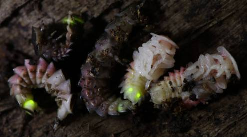 Firefly larvae and pupae