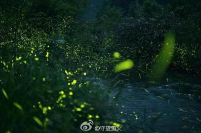 Wild fireflies in China (photo by FU Xinhua)