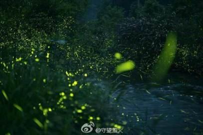 Wild fireflies in China (photo by FU Xinhua)