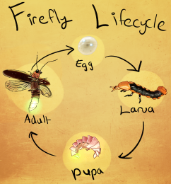 Firefly Life Cycle.png