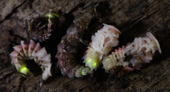 Juvenile fireflies