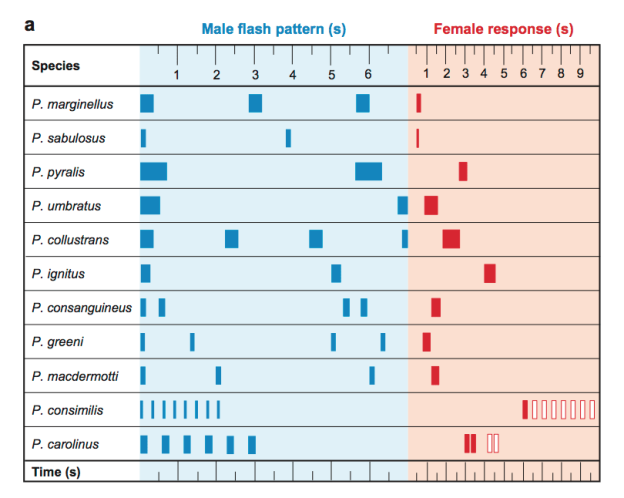 Photinus flash chart